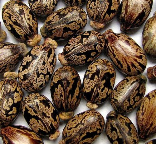 Hạt cây thầu dầu tía kết hợp với học trò nước giúp chữa bệnh trĩ hiệu nghiệm