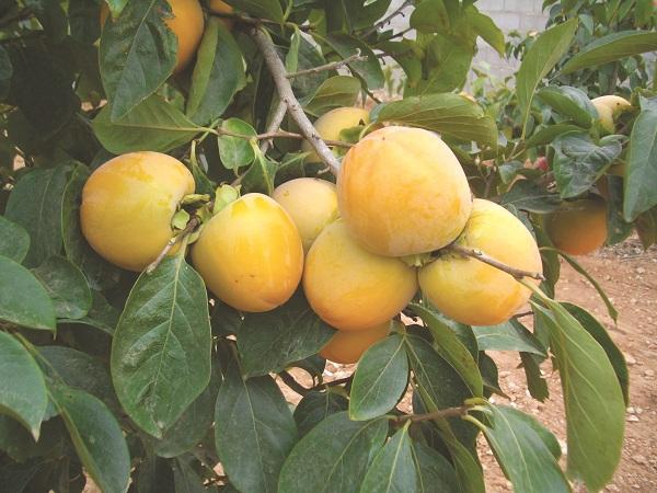 Hồng- một cây thuốc nam chữa bệnh trĩ hiệu quả