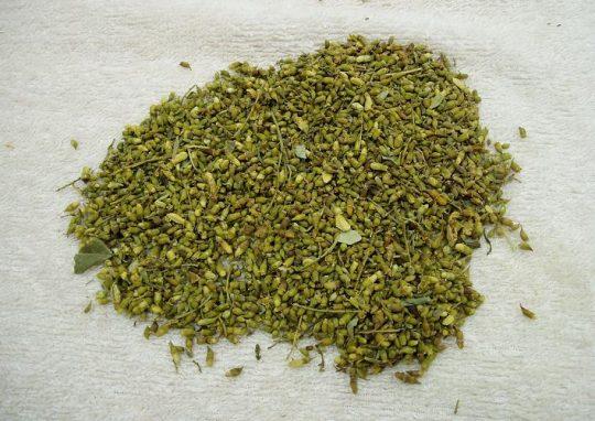 Hòe hoa - Vị thuốc gia truyền điều trị bệnh trĩ