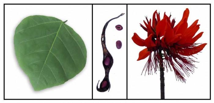 Lá vông nem - Thảo dược thiên nhiên chữa được nhiều bệnh