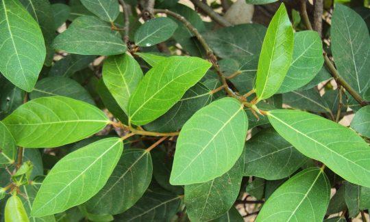 Lá sung có thể dùng chữa bệnh trĩ