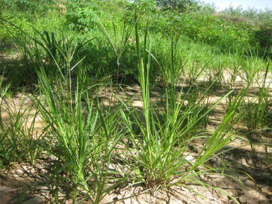 Cỏ mần trầu - Loại cỏ dại hữu dụng