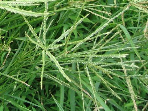 Bài thuốc chữa bệnh trĩ từ cỏ mần trầu