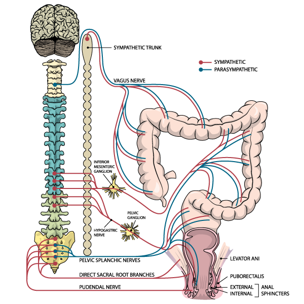 Các mức thần kinh và đường đi của hệ thần kinh giao cảm, phó giao cảm, và thân thể phân bố cho hậu môn-trực tràng