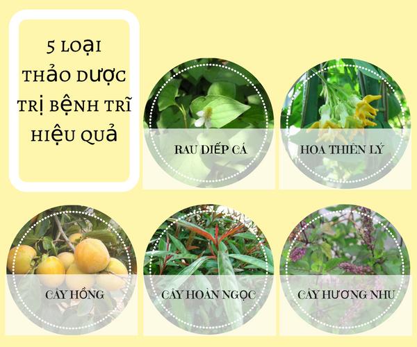 5 loại thảo dược chữa bệnh trĩ hiệu quả tại nhà