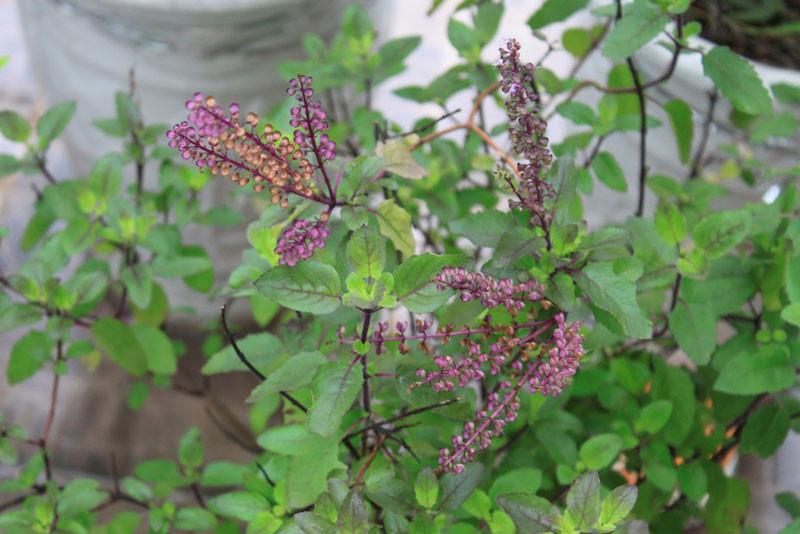 cây hương nhu