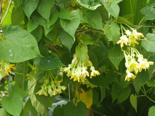 Thảo dược chữa bệnh trĩ - cây hoa thiên lý
