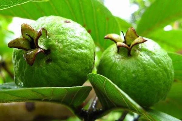 Ăn ổi xanh rất dễ bị táo bón